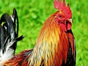 Tả con gà trống nhà em lớp 4