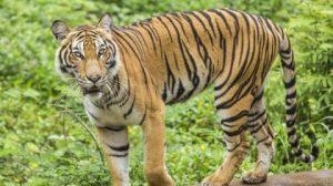Tả con hổ em có dịp quan sát