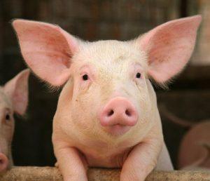 Tả con lợn nhà em nuôi