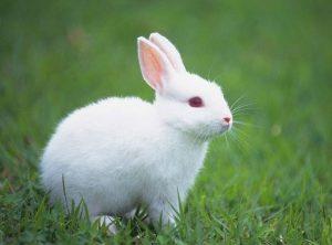 Tả con thỏ nhà em